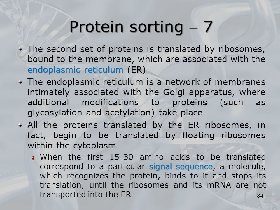 endoplasmic reticulum ER The second set of proteins is translated by ribosomes, bound to the membrane, which are associated with the endoplasmic reticulum (ER) The endoplasmic reticulum is a network of membranes intimately associated with the Golgi apparatus, where additional modifications to proteins (such as glycosylation and acetylation) take place All the proteins translated by the ER ribosomes, in fact, begin to be translated by floating ribosomes within the cytoplasm signal sequence When the first 1530 amino acids to be translated correspond to a particular signal sequence, a molecule, which recognizes the protein, binds to it and stops its translation, until the ribosomes and its mRNA are not transported into the ER 84 Protein sorting  7