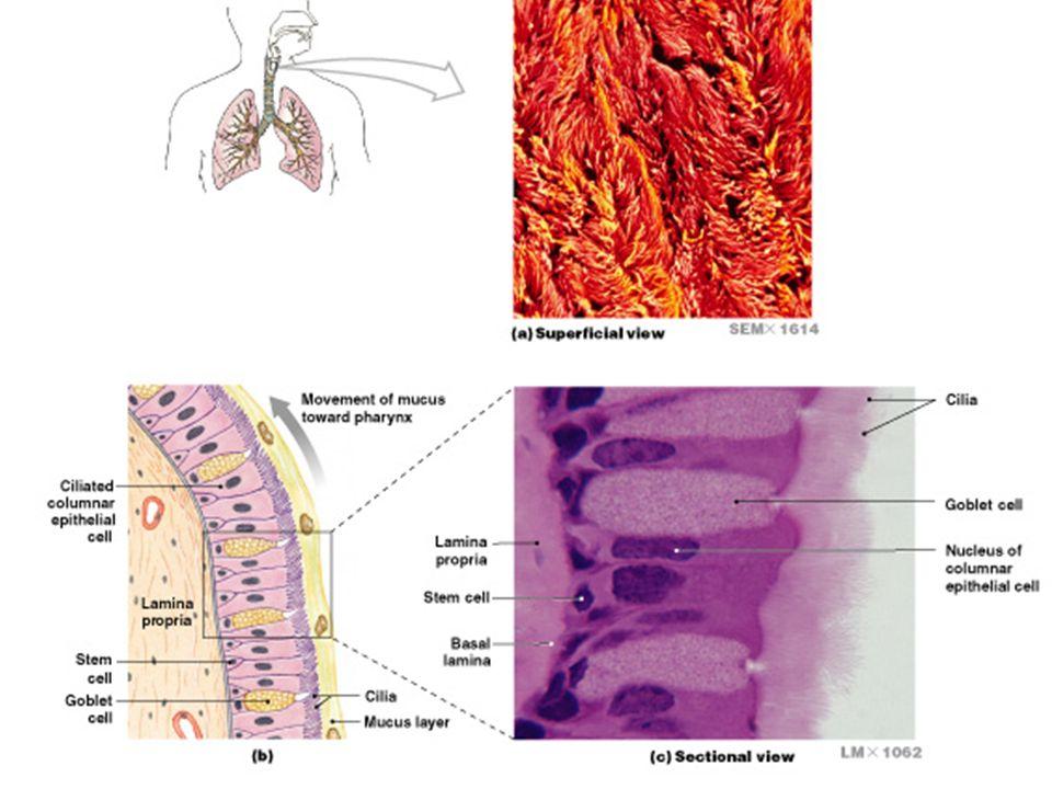 Dorable Anatomy And Physiology Lab Practical 1 Festooning - Anatomy ...