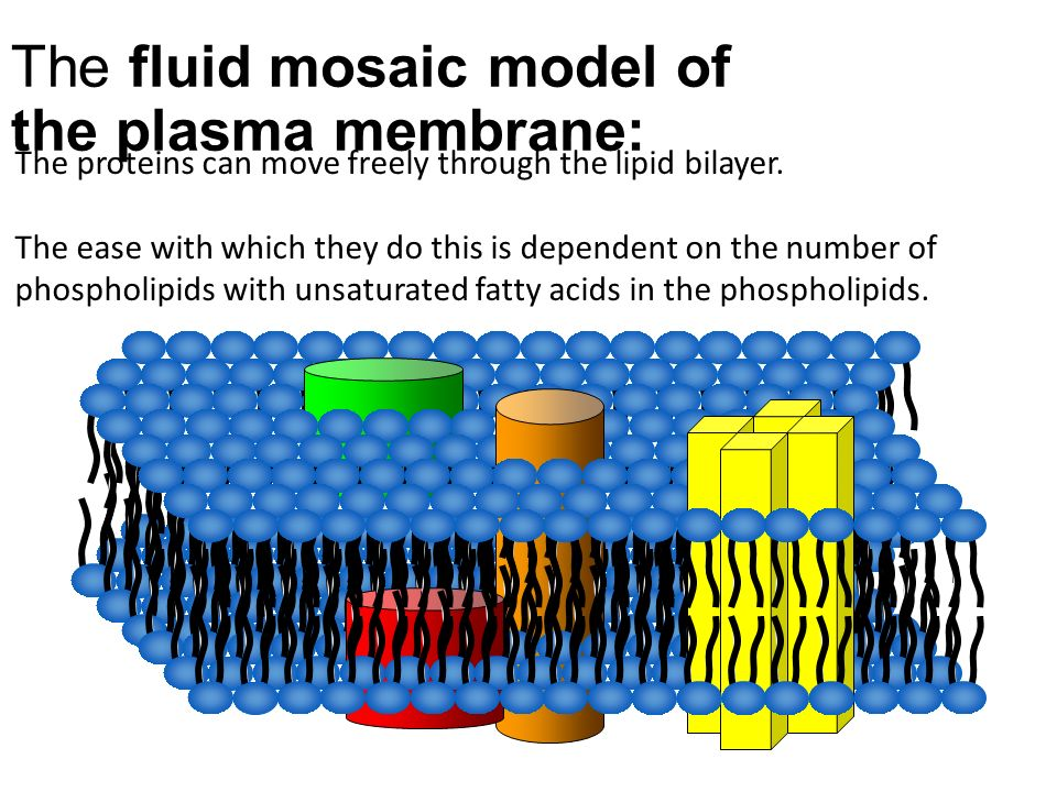 The fluid mosaic model of the plasma membrane: The proteins can move freely through the lipid bilayer.