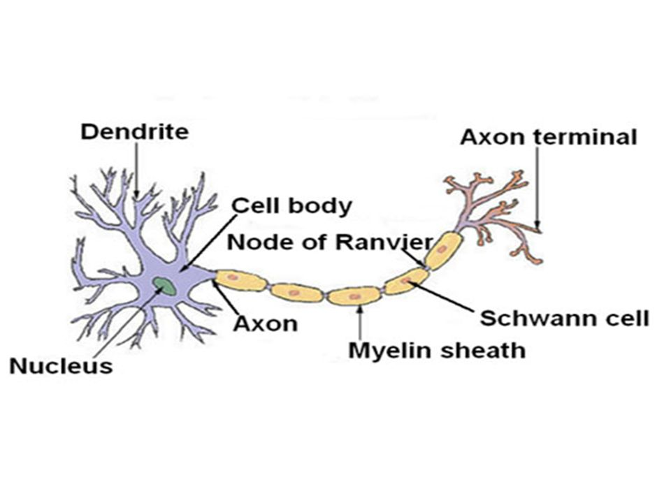 Beautiful The Anatomy Of The Neuron Picture Collection - Anatomy ...