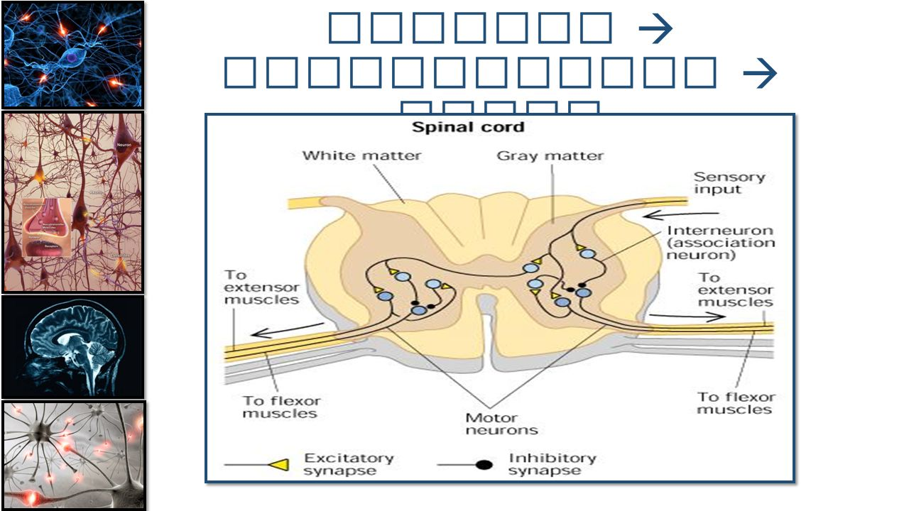 Path of Travel Sensory  interneurons  motor