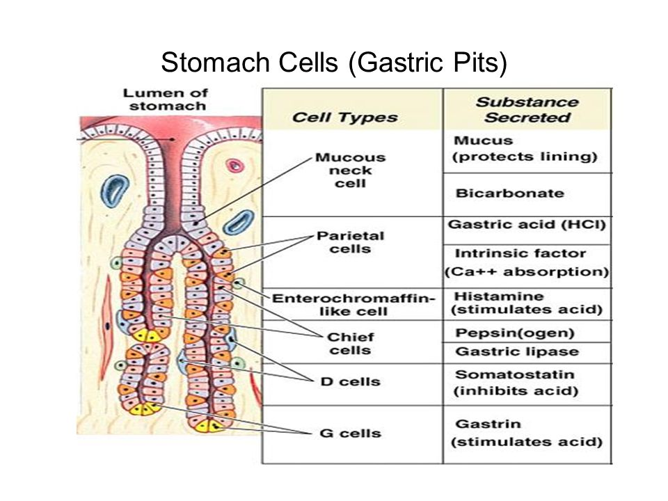 The human digestive system the mouth structure see diagram 8 stomach cells gastric pits ccuart Image collections