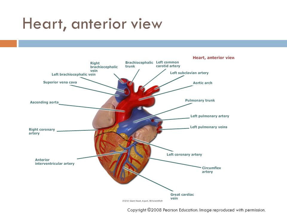 Heart, anterior view Copyright ©2008 Pearson Education: Image reproduced with permission.