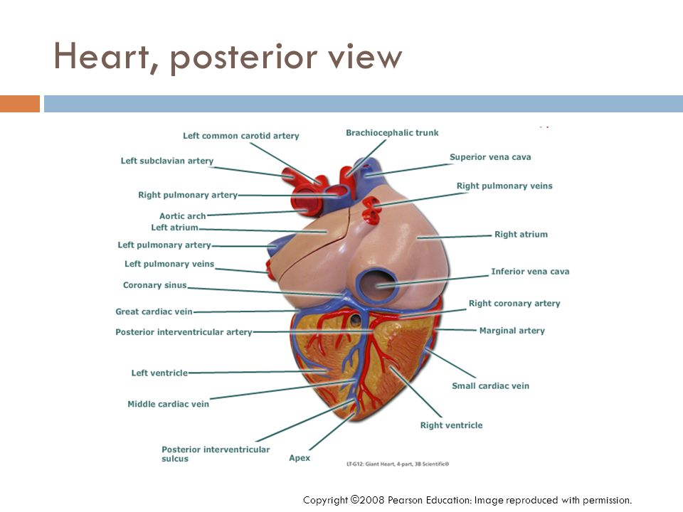 Heart, posterior view Copyright ©2008 Pearson Education: Image reproduced with permission.