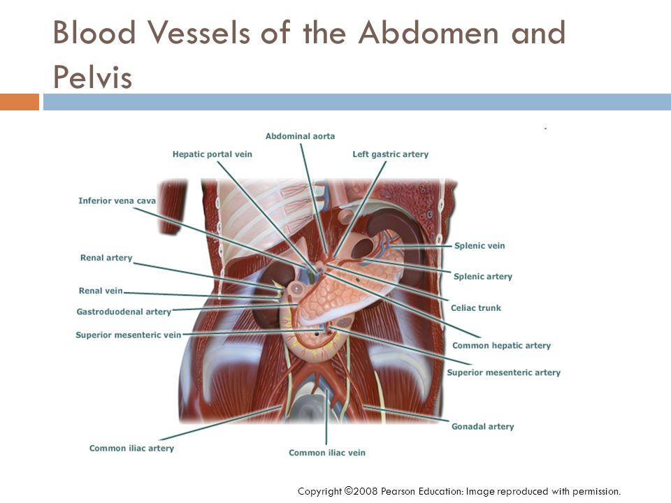 Blood Vessels of the Abdomen and Pelvis Copyright ©2008 Pearson Education: Image reproduced with permission.