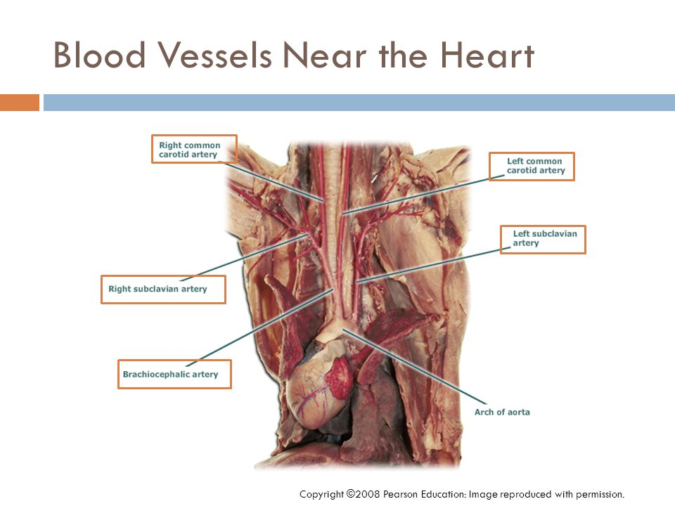 Blood Vessels Near the Heart Copyright ©2008 Pearson Education: Image reproduced with permission.