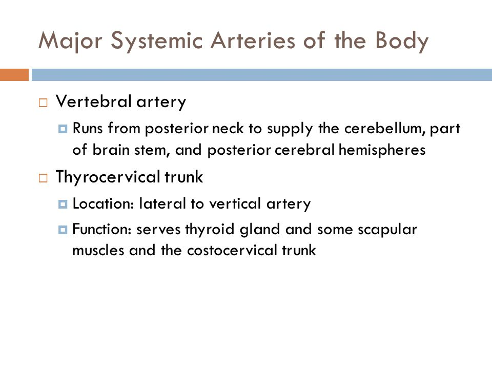 Major Systemic Arteries of the Body  Vertebral artery  Runs from posterior neck to supply the cerebellum, part of brain stem, and posterior cerebral hemispheres  Thyrocervical trunk  Location: lateral to vertical artery  Function: serves thyroid gland and some scapular muscles and the costocervical trunk