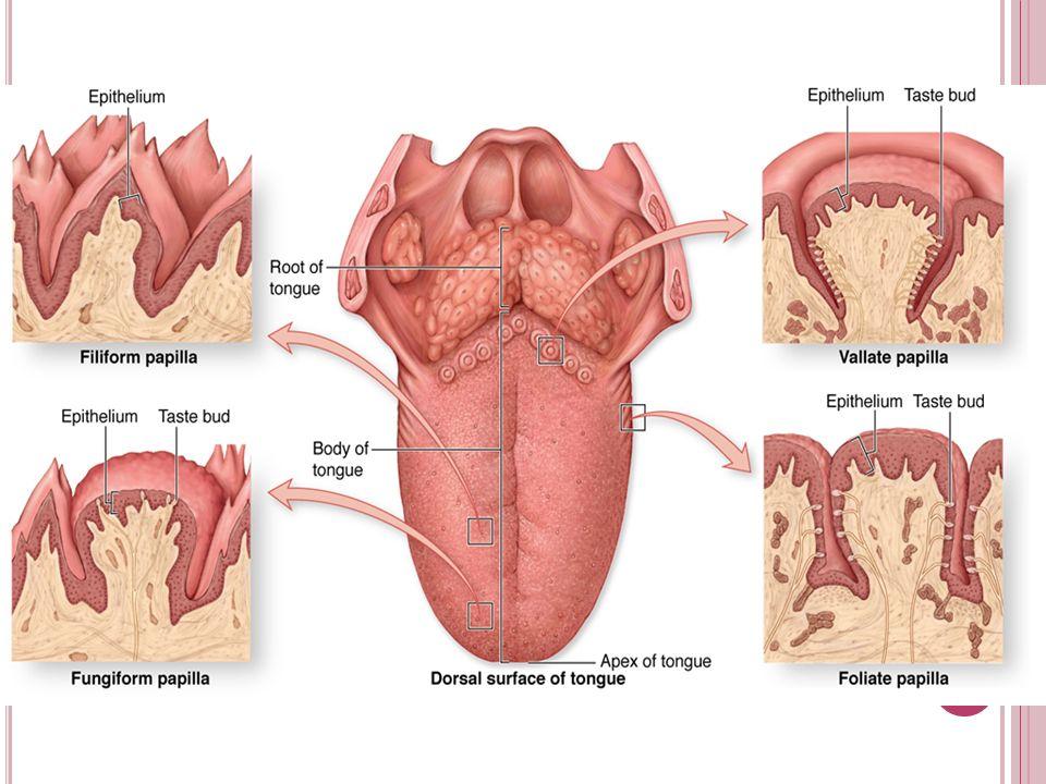 Tongue Anatomy Akbaeenw