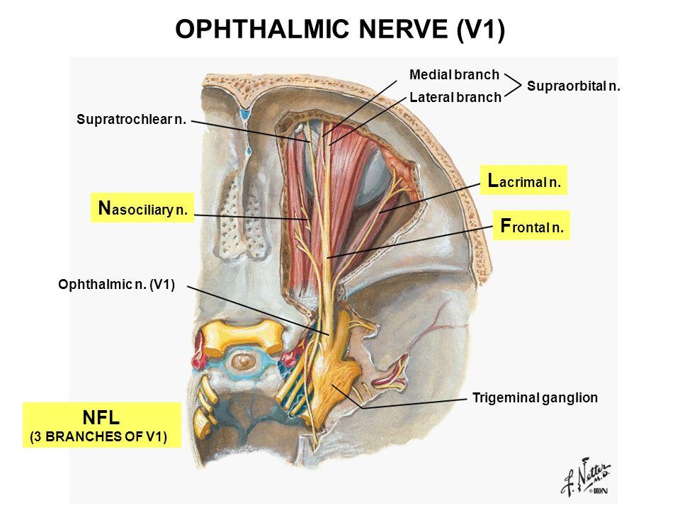 Tolle Medial Branch Anatomy Fotos - Menschliche Anatomie Bilder ...