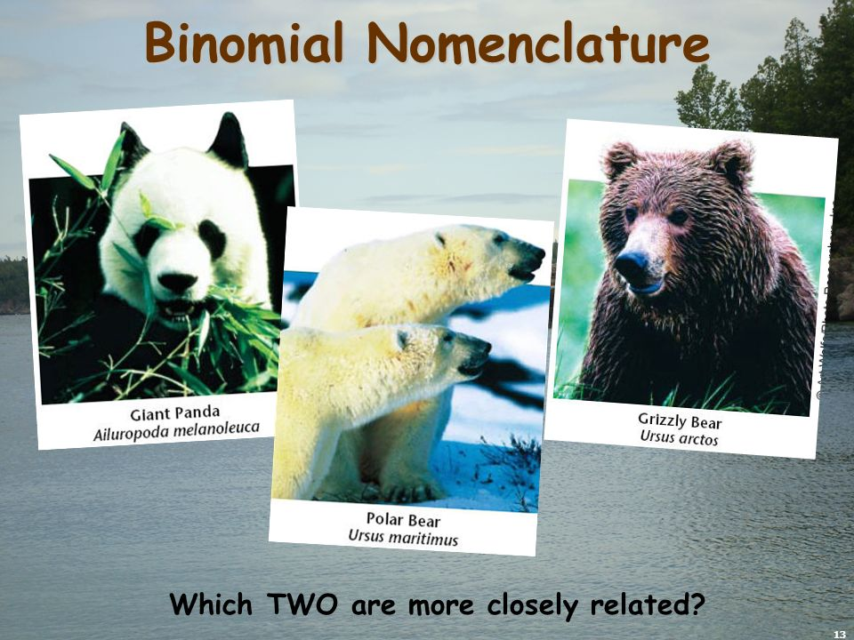 13 Binomial Nomenclature Which TWO are more closely related