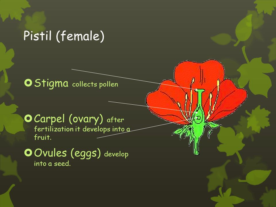 Stamen (male)  Anther: pollen grains grow in the anther.
