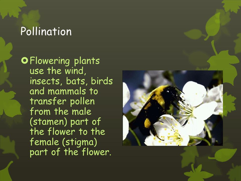 Pistil (female)  Stigma collects pollen  Carpel (ovary) after fertilization it develops into a fruit.