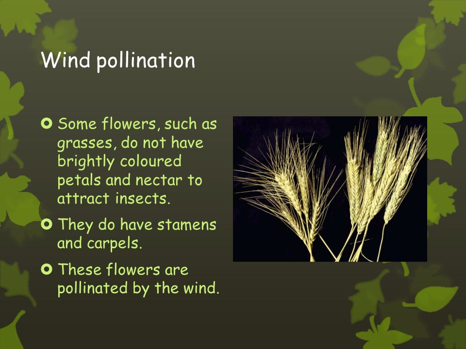 Fertilization  Pollen grains germinate on the stigma, growing down the style to reach an ovule.