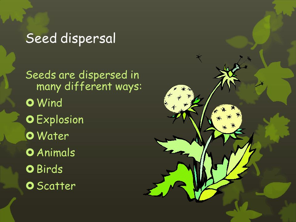 Wind pollination  Some flowers, such as grasses, do not have brightly coloured petals and nectar to attract insects.
