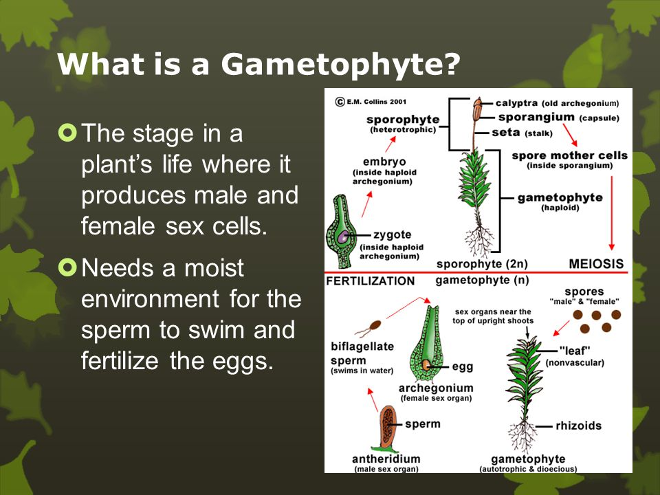 What is a Sporophyte.  A plant in the spore producing stage of life.