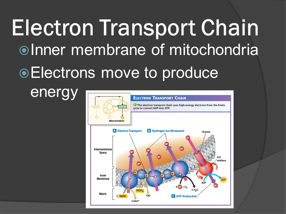 Electron Transport Chain  Inner membrane of mitochondria  Electrons move to produce energy