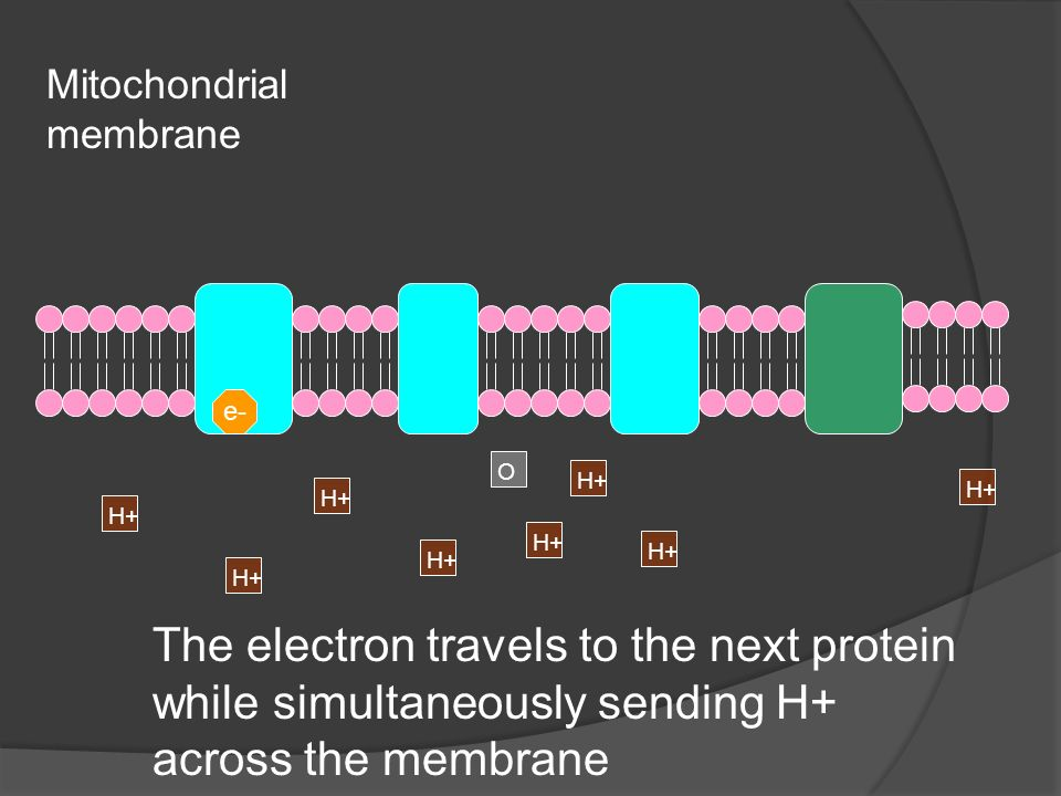 Mitochondrial membrane The electron travels to the next protein while simultaneously sending H+ across the membrane e- H+ O