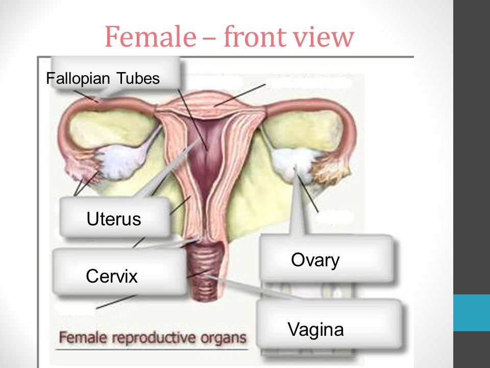 Reproductive Anatomy Female Front View Fallopian Tubes Uterus