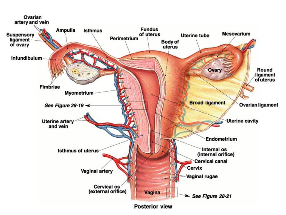 male nerve endings
