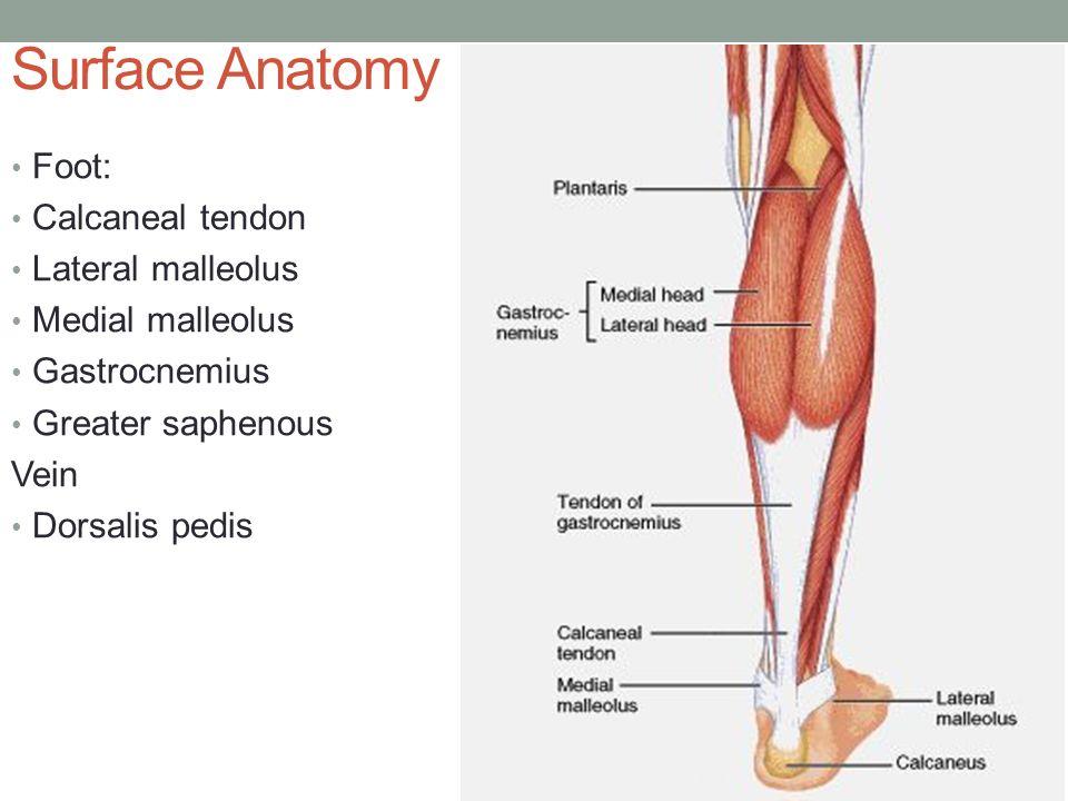 Surface Anatomy Of Knee Choice Image - human body anatomy