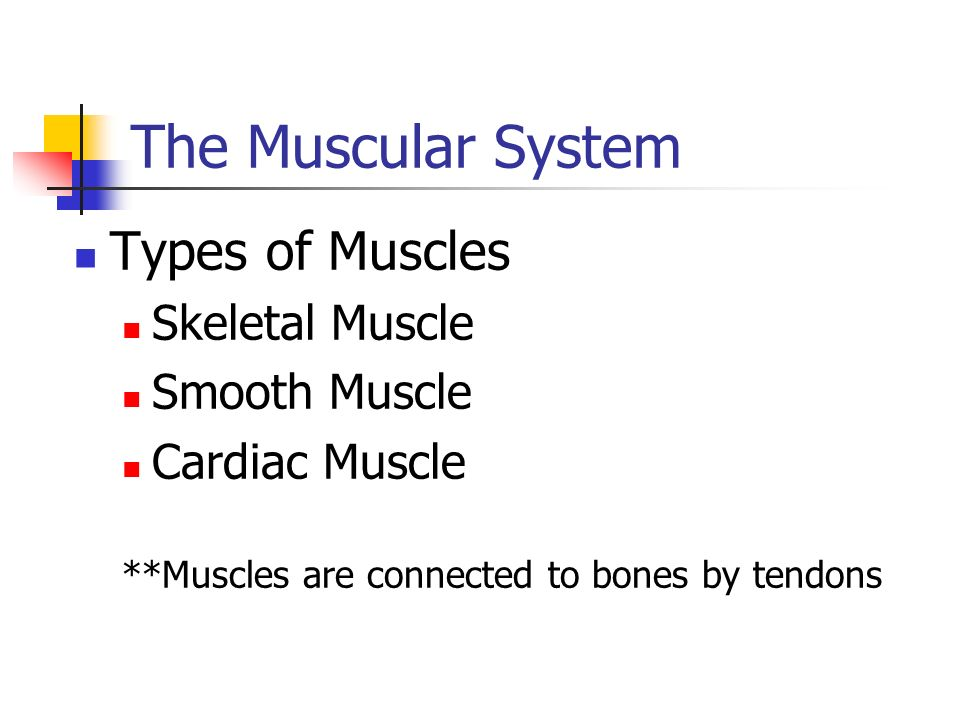 the muscular system types of muscles skeletal muscle smooth muscle, Muscles