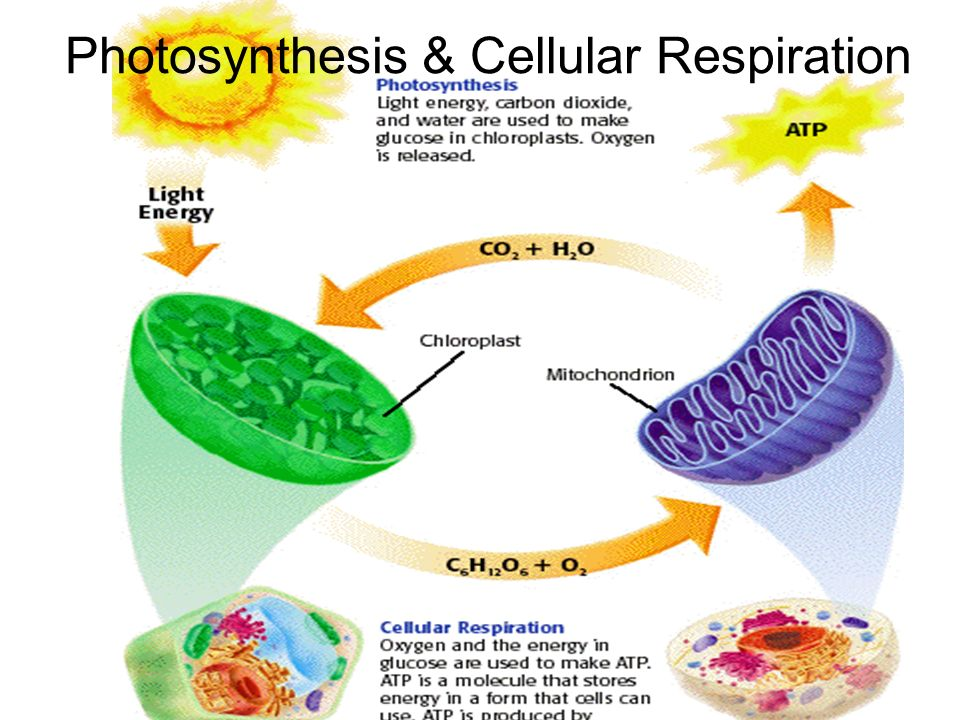 photosynthesis and cellular respiration matrix Check out our top free essays on photosynthesis and cellular respiration matrix to help you write your own essay.