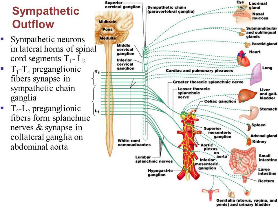 Human Anatomy & Physiology, Sixth Edition Elaine N. Marieb 14 The ...