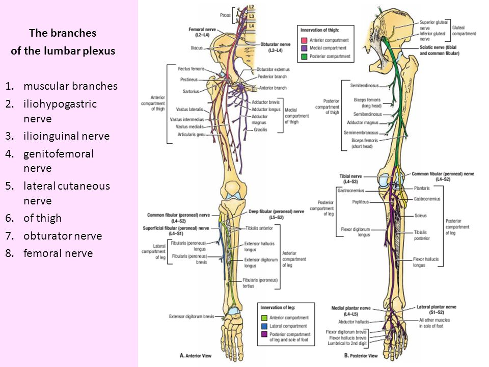 the nerves and vessels of the pelvic girdle and free lower limb, Muscles