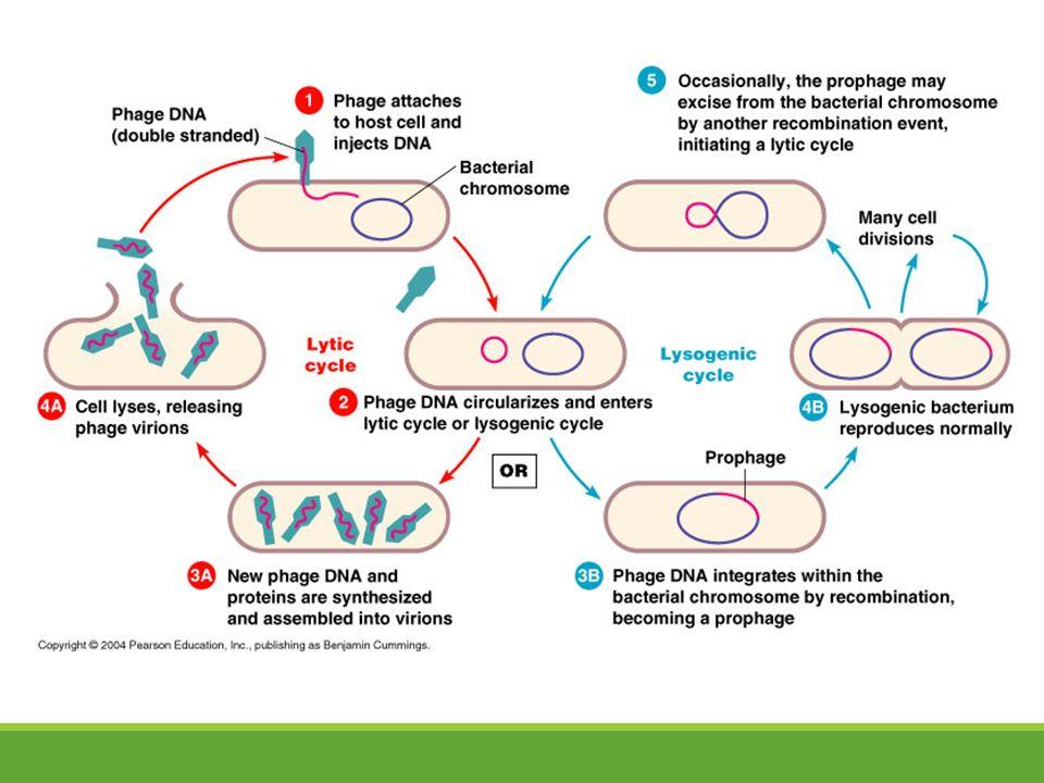 Venn Diagram Virus And Bacteria Yelomdiffusion