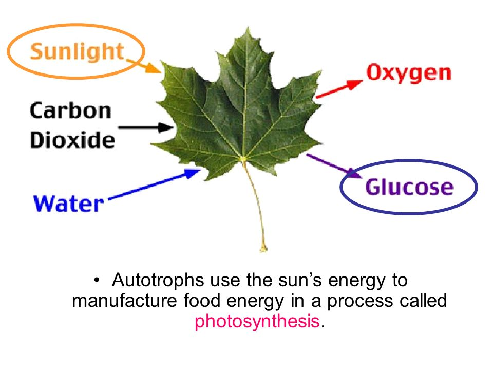 Photosynthesis Study Guide - Key Concepts - ThoughtCo