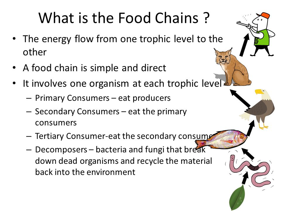 What is the Food Chains .