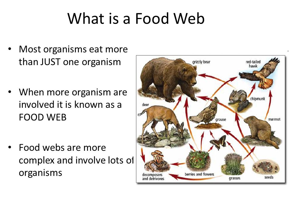 What is a Food Web Most organisms eat more than JUST one organism When more organism are involved it is known as a FOOD WEB Food webs are more complex and involve lots of organisms