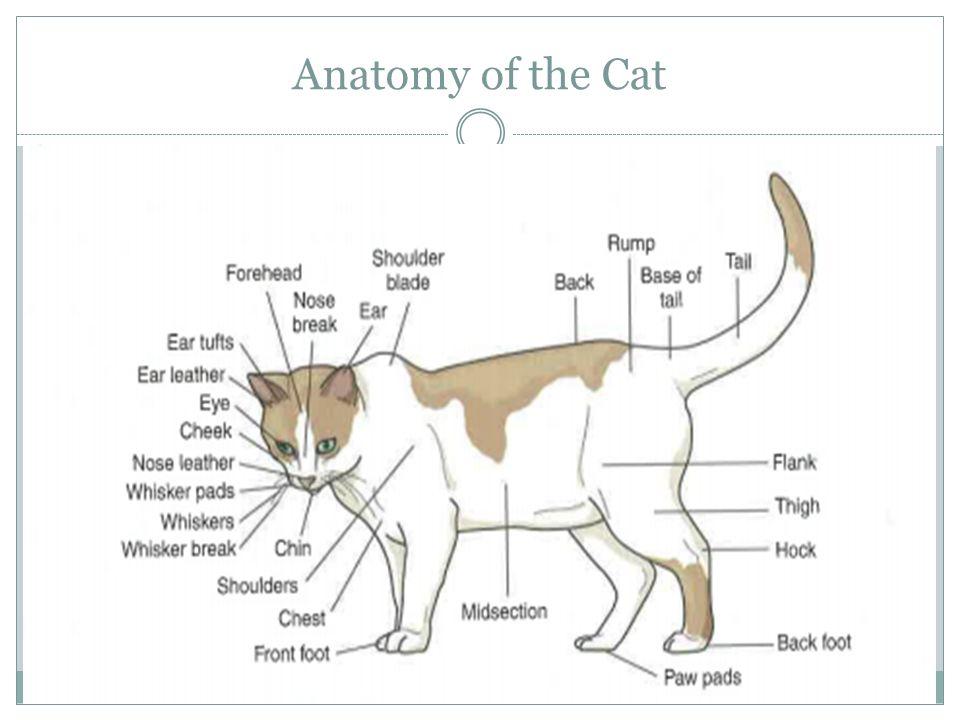 Famous Cat Hind Leg Anatomy Frieze - Anatomy Ideas - yunoki.info