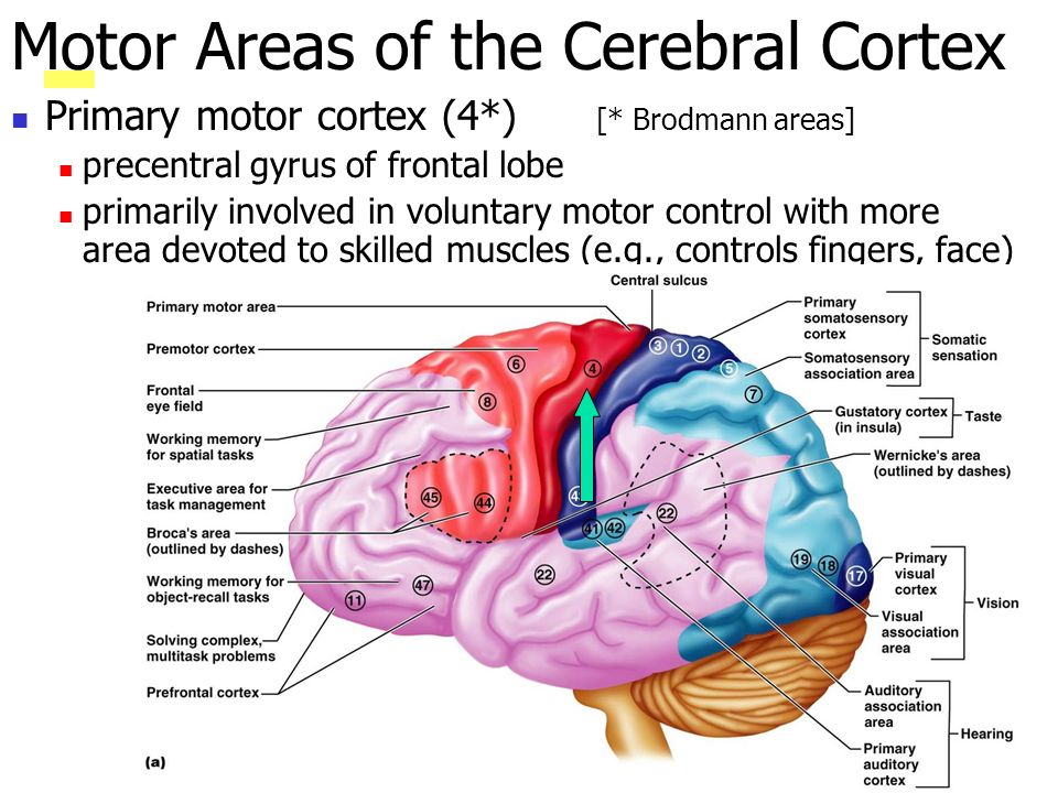 Primary motor cortex (4*) [* Brodmann areas] precentral gyrus of frontal lobe primarily involved in voluntary motor control with more area devoted to skilled muscles (e.g., controls fingers, face) Motor Areas of the Cerebral Cortex
