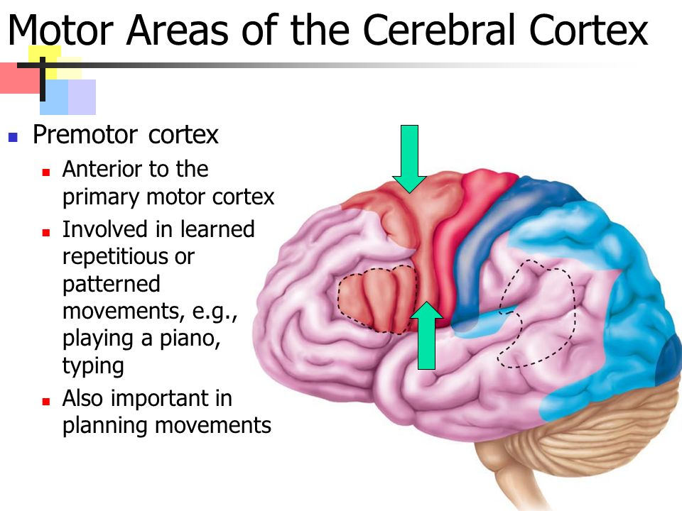 Motor Areas of the Cerebral Cortex Premotor cortex Anterior to the primary motor cortex Involved in learned repetitious or patterned movements, e.g., playing a piano, typing Also important in planning movements