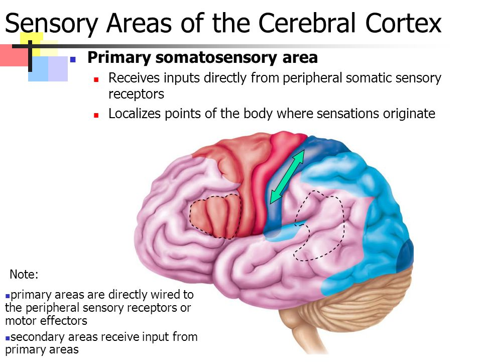 Sensory Areas of the Cerebral Cortex Primary somatosensory area Receives inputs directly from peripheral somatic sensory receptors Localizes points of the body where sensations originate primary areas are directly wired to the peripheral sensory receptors or motor effectors secondary areas receive input from primary areas Note:
