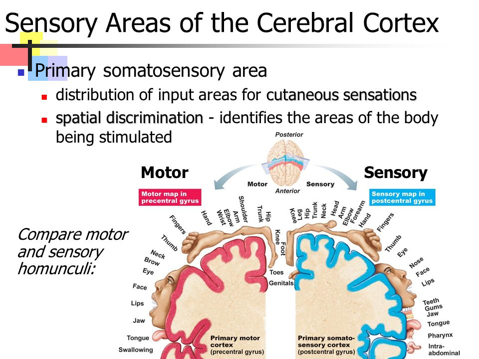 Sensory Areas of the Cerebral Cortex Primary somatosensory area cutaneous sensations distribution of input areas for cutaneous sensations spatial discrimination spatial discrimination - identifies the areas of the body being stimulated MotorSensory Compare motor and sensory homunculi: