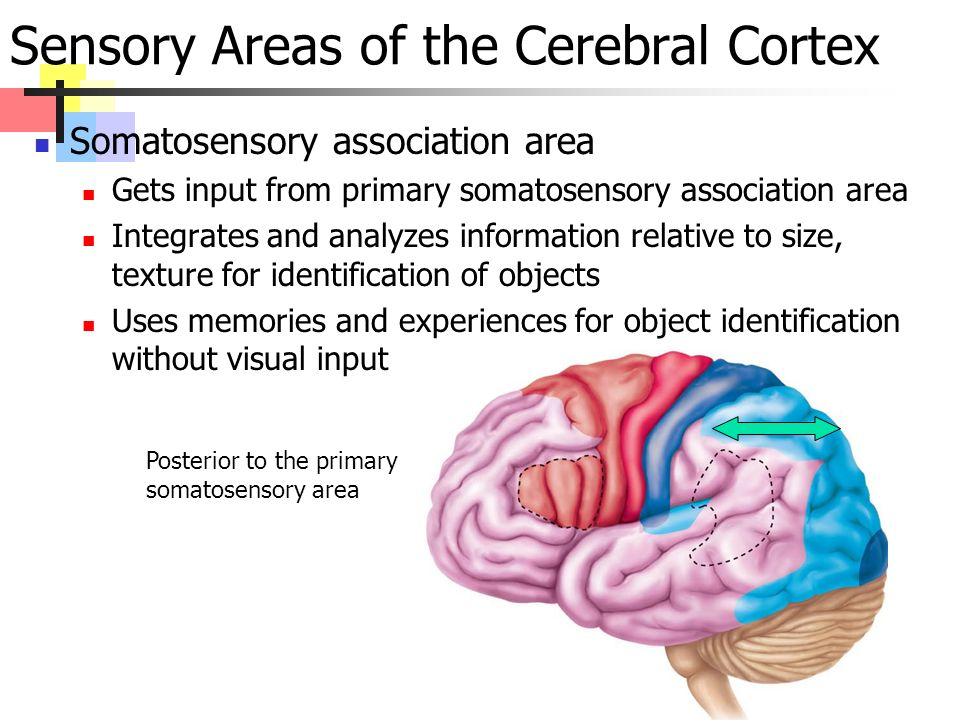 Somatosensory association area Gets input from primary somatosensory association area Integrates and analyzes information relative to size, texture for identification of objects Uses memories and experiences for object identification without visual input Sensory Areas of the Cerebral Cortex Posterior to the primary somatosensory area