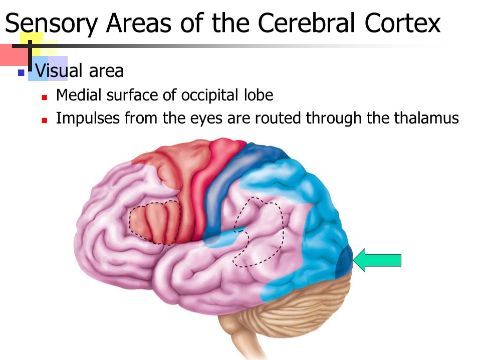 Sensory Areas of the Cerebral Cortex Visual area Medial surface of occipital lobe Impulses from the eyes are routed through the thalamus