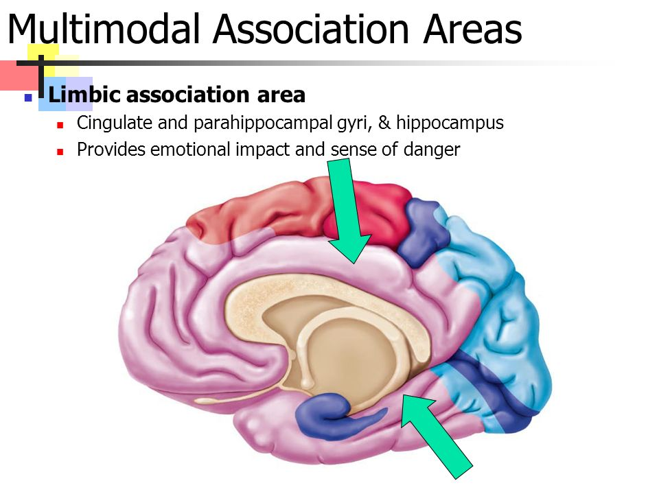 Multimodal Association Areas Limbic association area Cingulate and parahippocampal gyri, & hippocampus Provides emotional impact and sense of danger