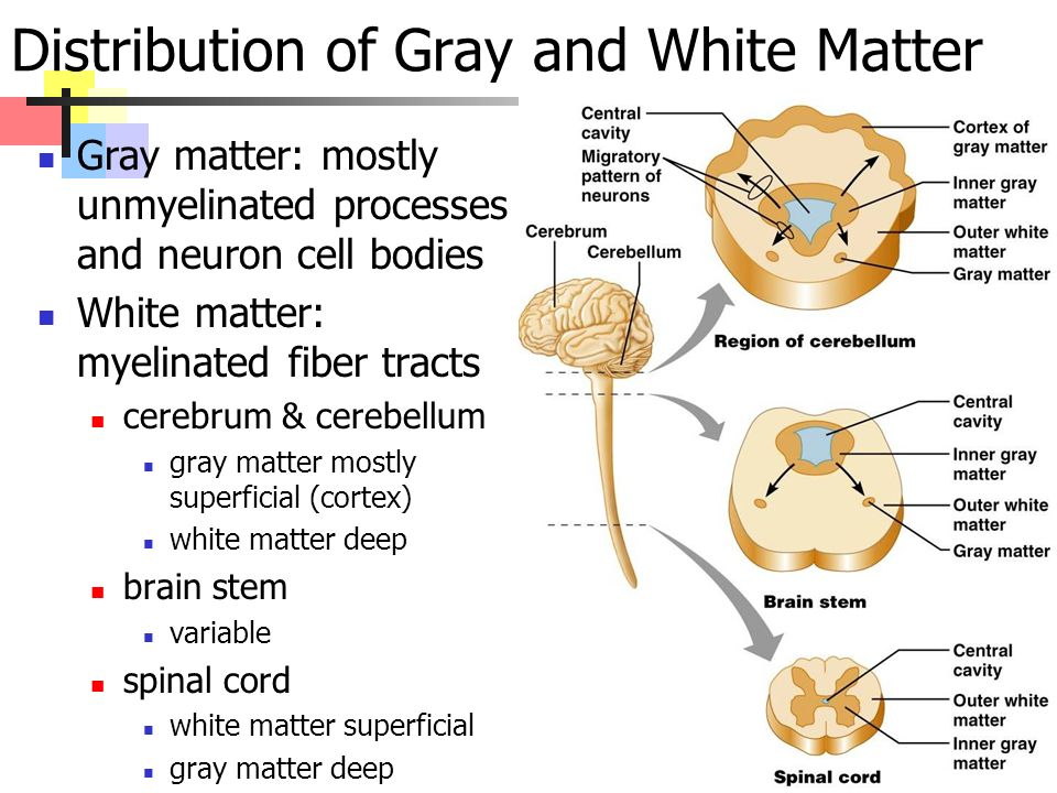 Distribution of Gray and White Matter Gray matter: mostly unmyelinated processes and neuron cell bodies White matter: myelinated fiber tracts cerebrum & cerebellum gray matter mostly superficial (cortex) white matter deep brain stem variable spinal cord white matter superficial gray matter deep