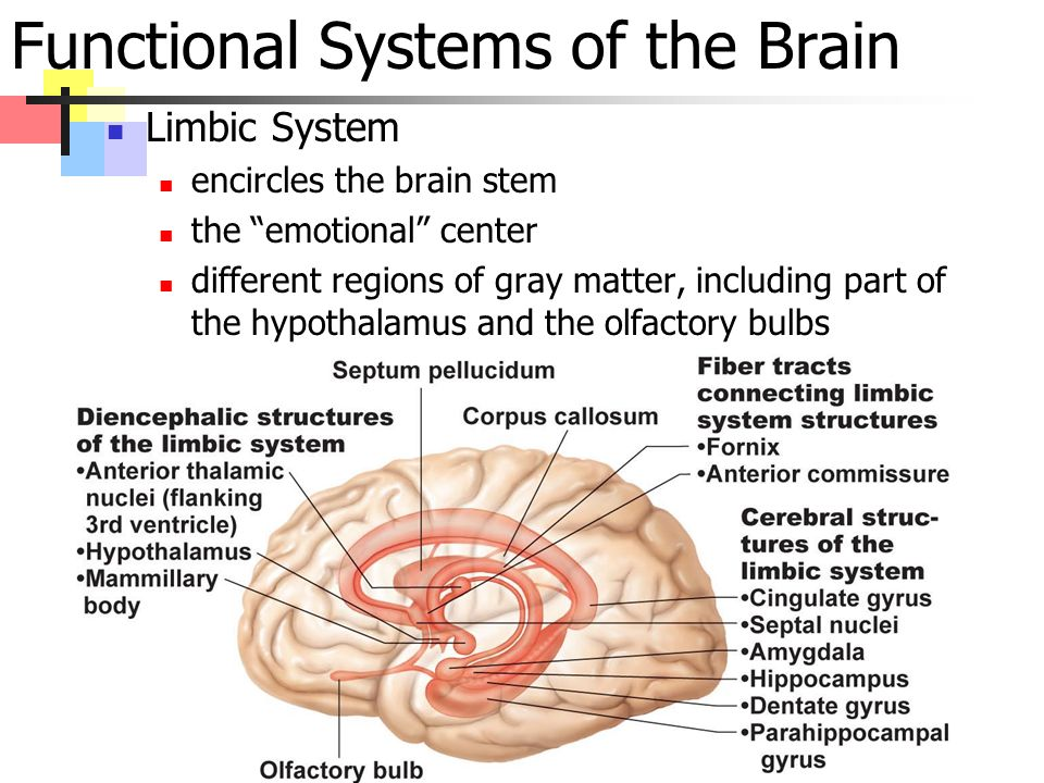 Functional Systems of the Brain Limbic System encircles the brain stem the emotional center different regions of gray matter, including part of the hypothalamus and the olfactory bulbs