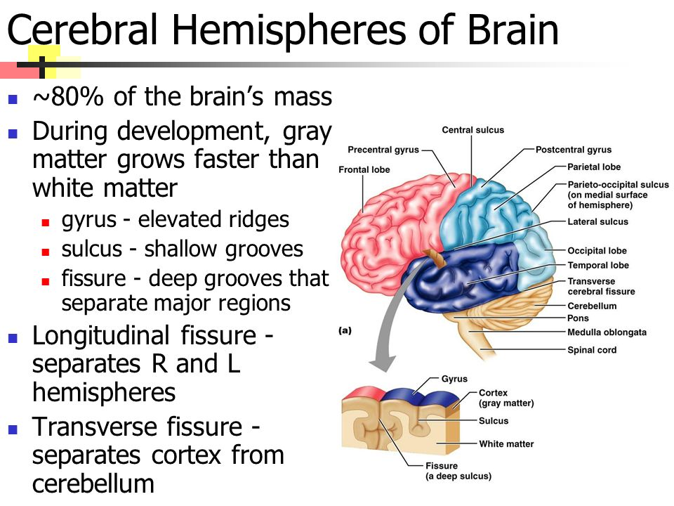 Cerebral Hemispheres of Brain ~80% of the brain's mass During development, gray matter grows faster than white matter gyrus - elevated ridges sulcus - shallow grooves fissure - deep grooves that separate major regions Longitudinal fissure - separates R and L hemispheres Transverse fissure - separates cortex from cerebellum