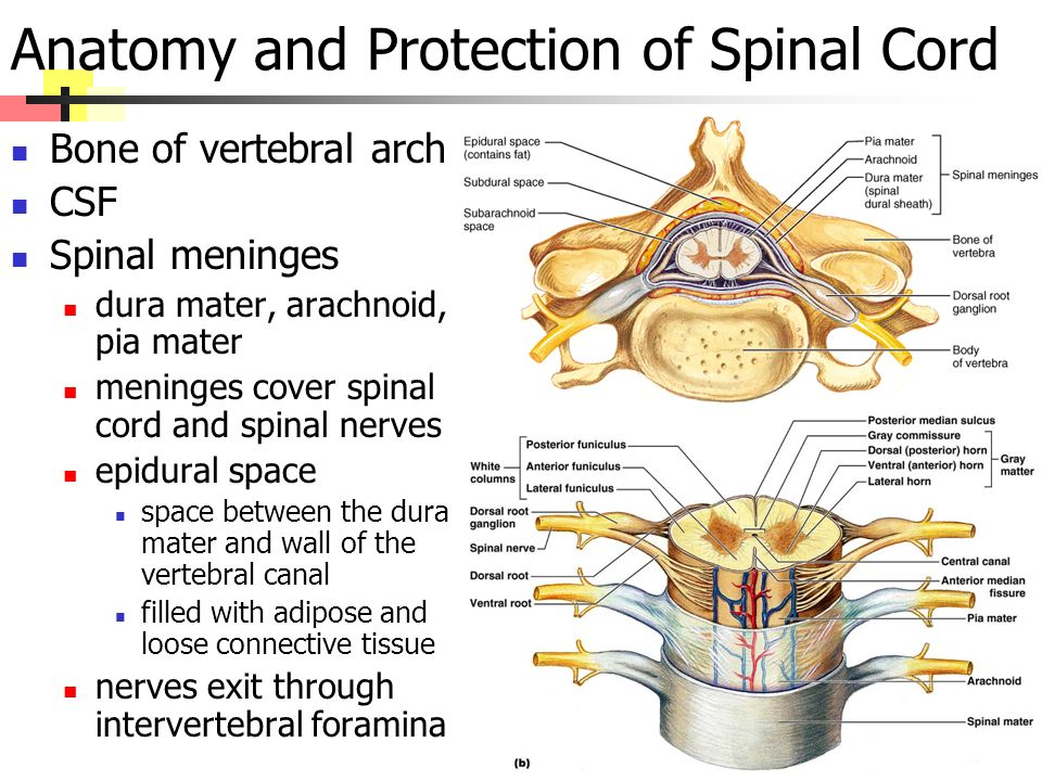 Anatomy and Protection of Spinal Cord Bone of vertebral arch CSF Spinal meninges dura mater, arachnoid, pia mater meninges cover spinal cord and spinal nerves epidural space space between the dura mater and wall of the vertebral canal filled with adipose and loose connective tissue nerves exit through intervertebral foramina
