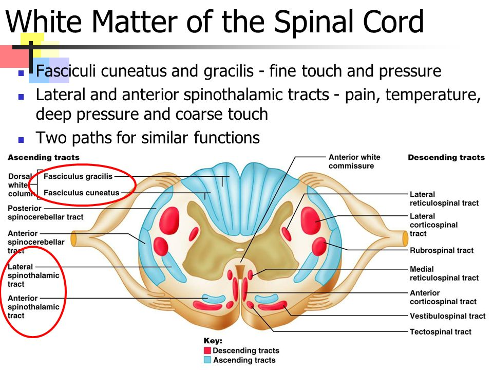 White Matter of the Spinal Cord Fasciculi cuneatus and gracilis - fine touch and pressure Lateral and anterior spinothalamic tracts - pain, temperature, deep pressure and coarse touch Two paths for similar functions