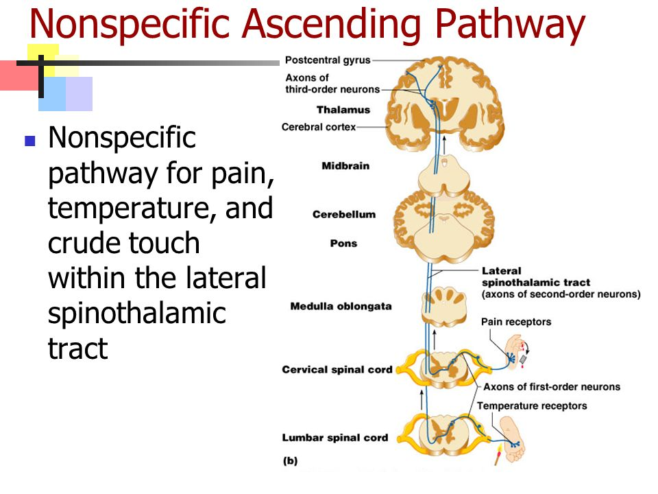 Nonspecific Ascending Pathway Nonspecific pathway for pain, temperature, and crude touch within the lateral spinothalamic tract