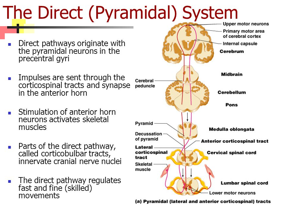 The Direct (Pyramidal) System Direct pathways originate with the pyramidal neurons in the precentral gyri Impulses are sent through the corticospinal tracts and synapse in the anterior horn Stimulation of anterior horn neurons activates skeletal muscles Parts of the direct pathway, called corticobulbar tracts, innervate cranial nerve nuclei The direct pathway regulates fast and fine (skilled) movements