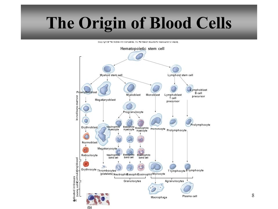 8 The Origin of Blood Cells Copyright © The McGraw-Hill Companies, Inc.