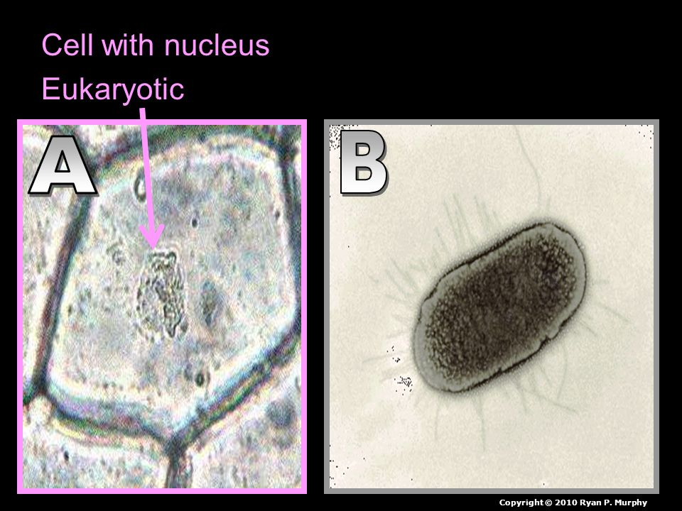Cell with nucleus Cell without nucleus Eukaryotic Copyright © 2010 Ryan P. Murphy
