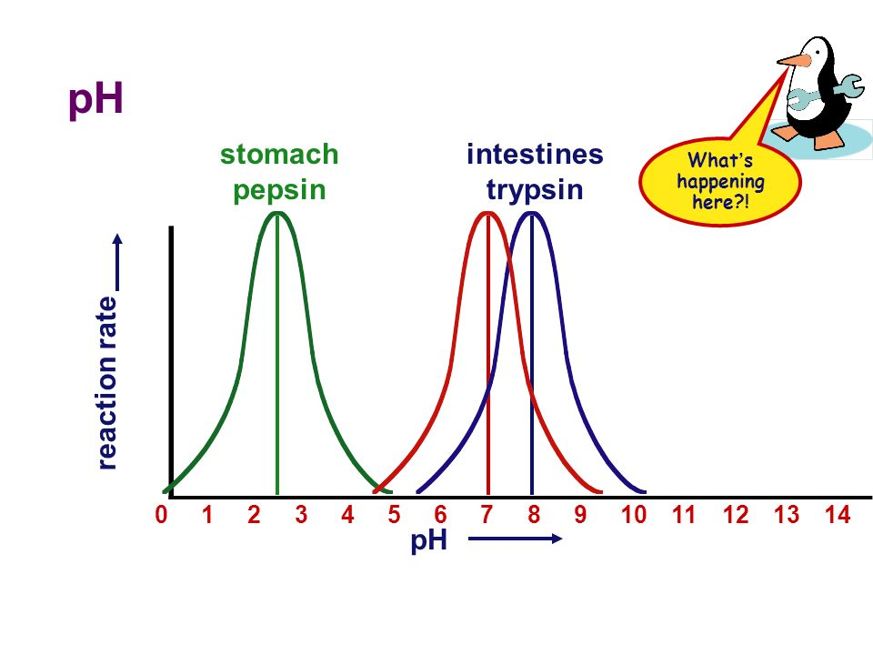 pH  Effect on rates of enzyme activity  pH changes protein shape  most human enzymes = pH 6-8  depends on where in body  pepsin (stomach) = pH 3  trypsin (small intestines) = pH 8 s21